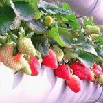 阳台族草莓种植的一点经验
