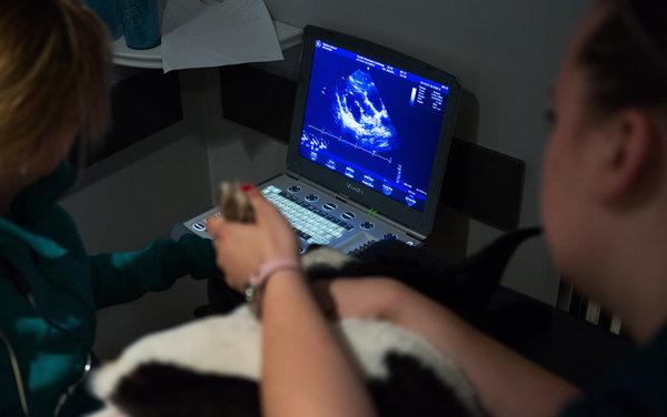 """兽医把""""淘气鬼""""放在自己这一侧进行超声心动图检查。减缓衰老的药物可能同时延迟好几种重大疾病的发生。"""
