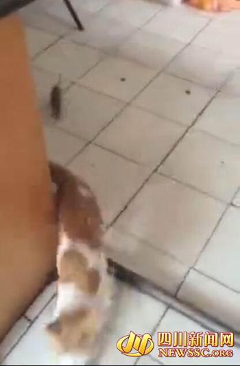 图为老鼠追着小猫(视频截图)