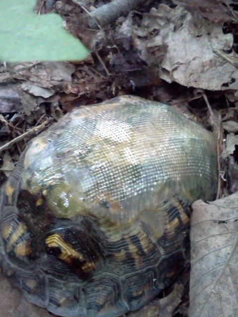 几年后,兽医再次发现背着玻璃纤维龟壳的乌龟,倍觉惊喜。( Hocking Hills Animal Clinic脸书)